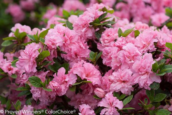 Bloomathon Pink