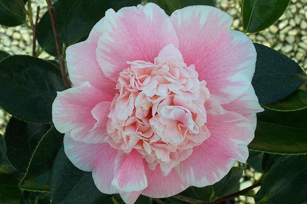Camellia j. CM Wilson