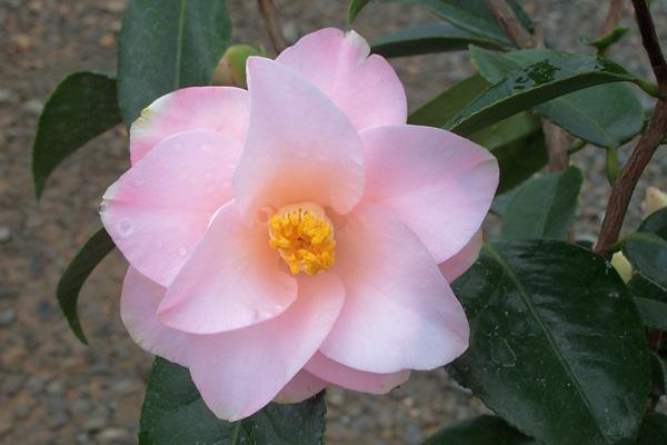Magnoliaeflora