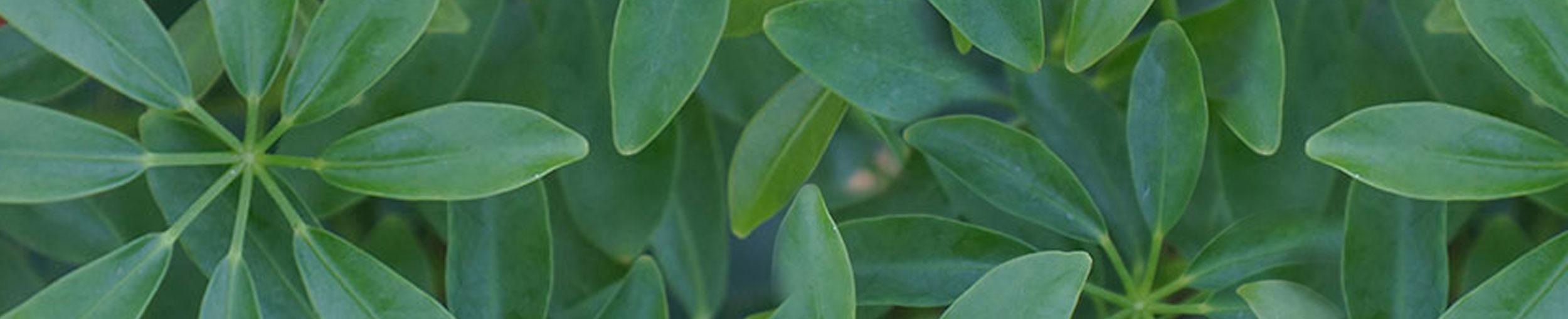 Matsuda's Banner Fiddle Leaf Fig
